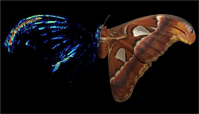 A composite image of the Atlas moth, with a photograph on the right and acoustic tomography on the left – the color indicates the echo strength