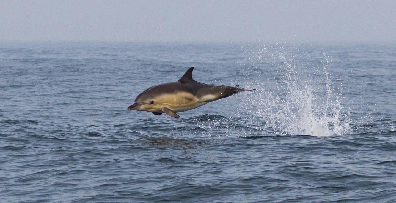 "Elusive Mammal Winner, ""Breaching Common Dolphin"""