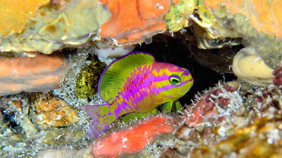 "A new species of fish with neon coloring has been found in the ""twilight zone"" of the ocean off the coast of Brazil"
