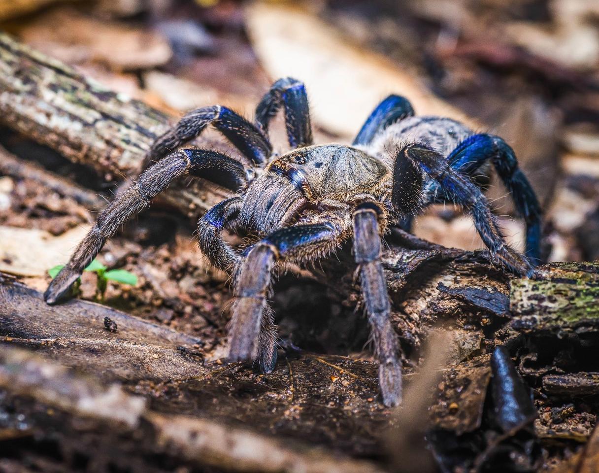 The cobalt blue tarantula, Haplopelma lividum