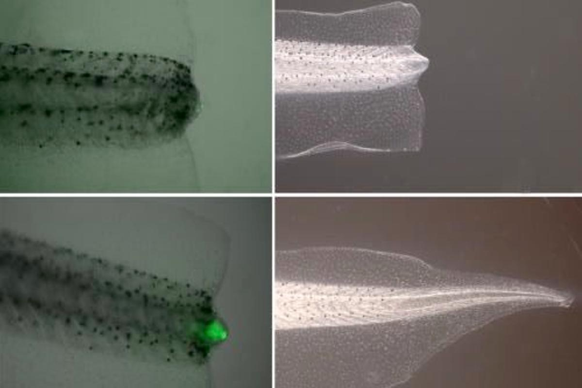 An unregenerated tail on an untreated tadpole (top), and a regenerated tail on one that received the treatment (bottom) (Photos: Ai-Sun Tseng and Michael Levin-Tufts University)
