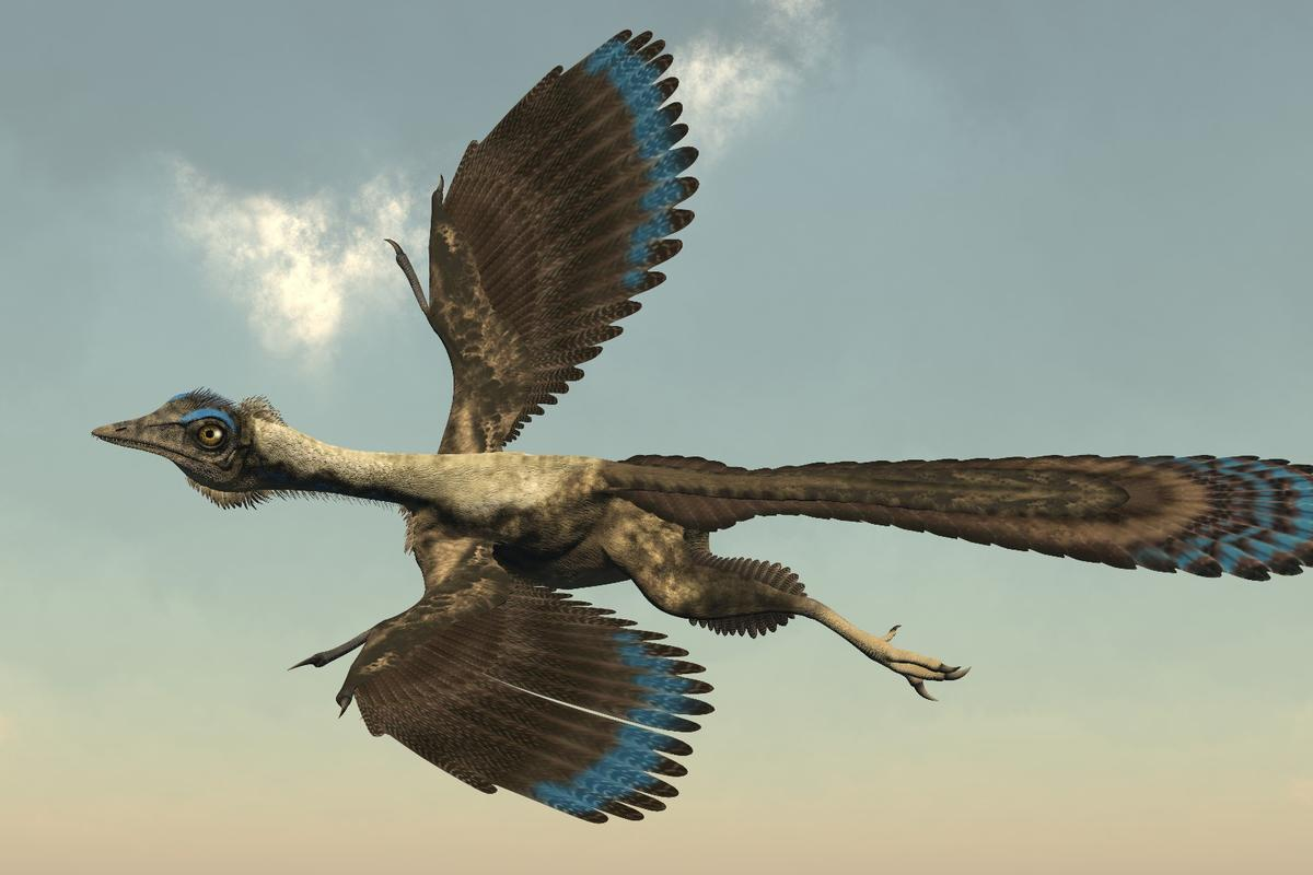 A new study has determined how well the feathered dinosaur Archaeopteryx might have flown