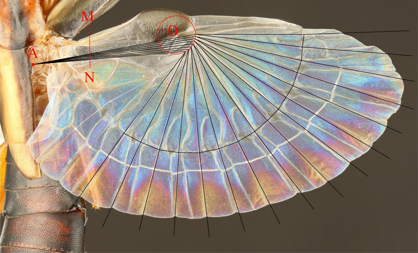 An earwig's extended hind wing, with the folding pattern overlaid on top