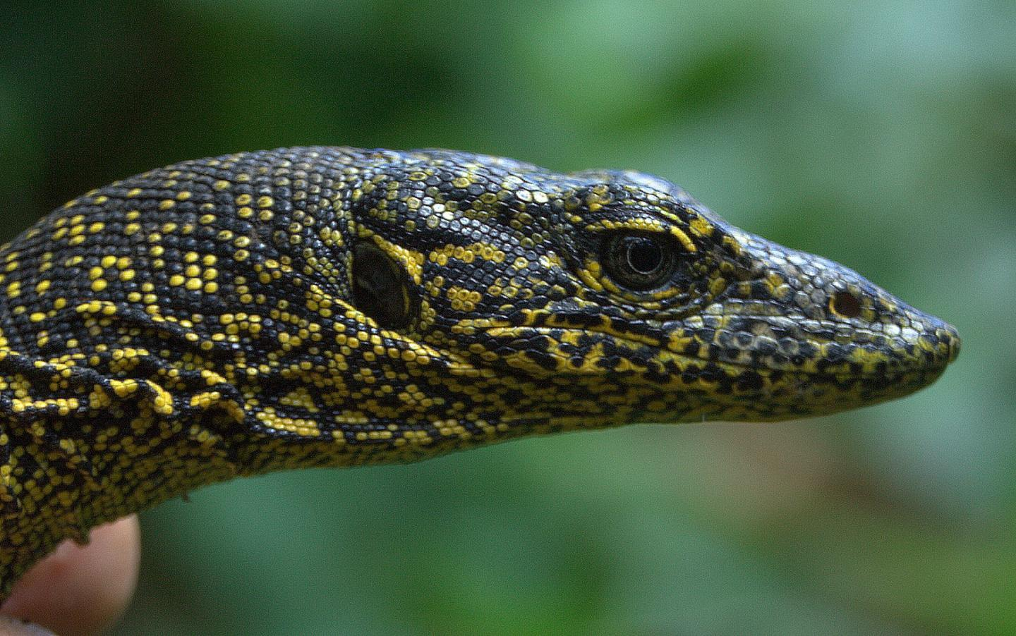 "Varanus douarrha is described as ""the only large-growing animal endemic to the island that has survived until modern times"""