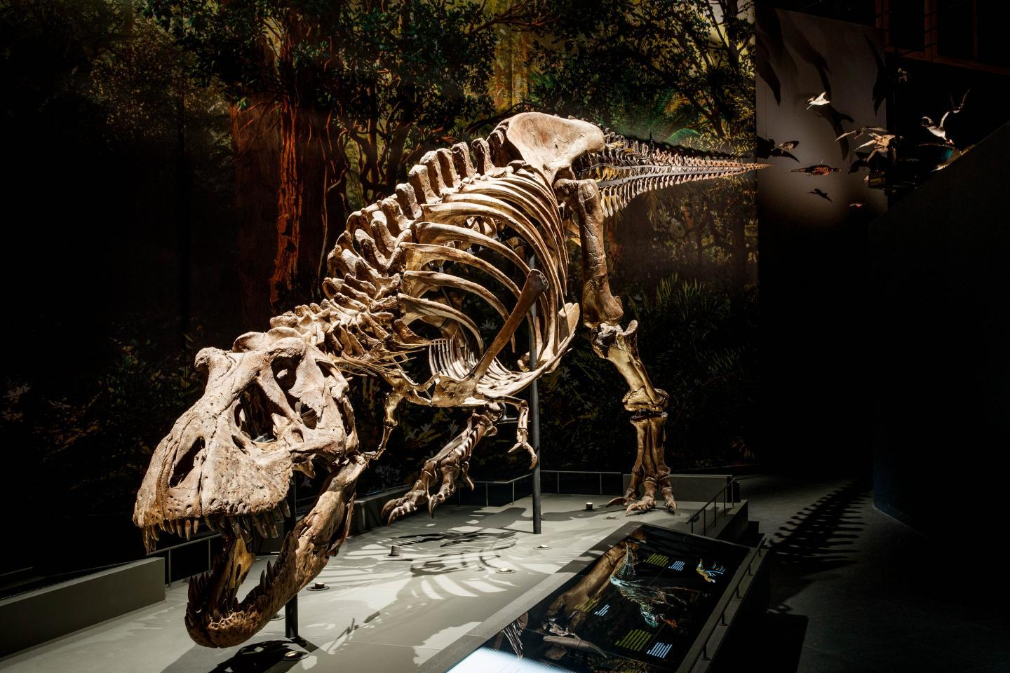 """The model was based on the skeleton of """"Trix,"""" an adult female Tyrannosaurus rex"""