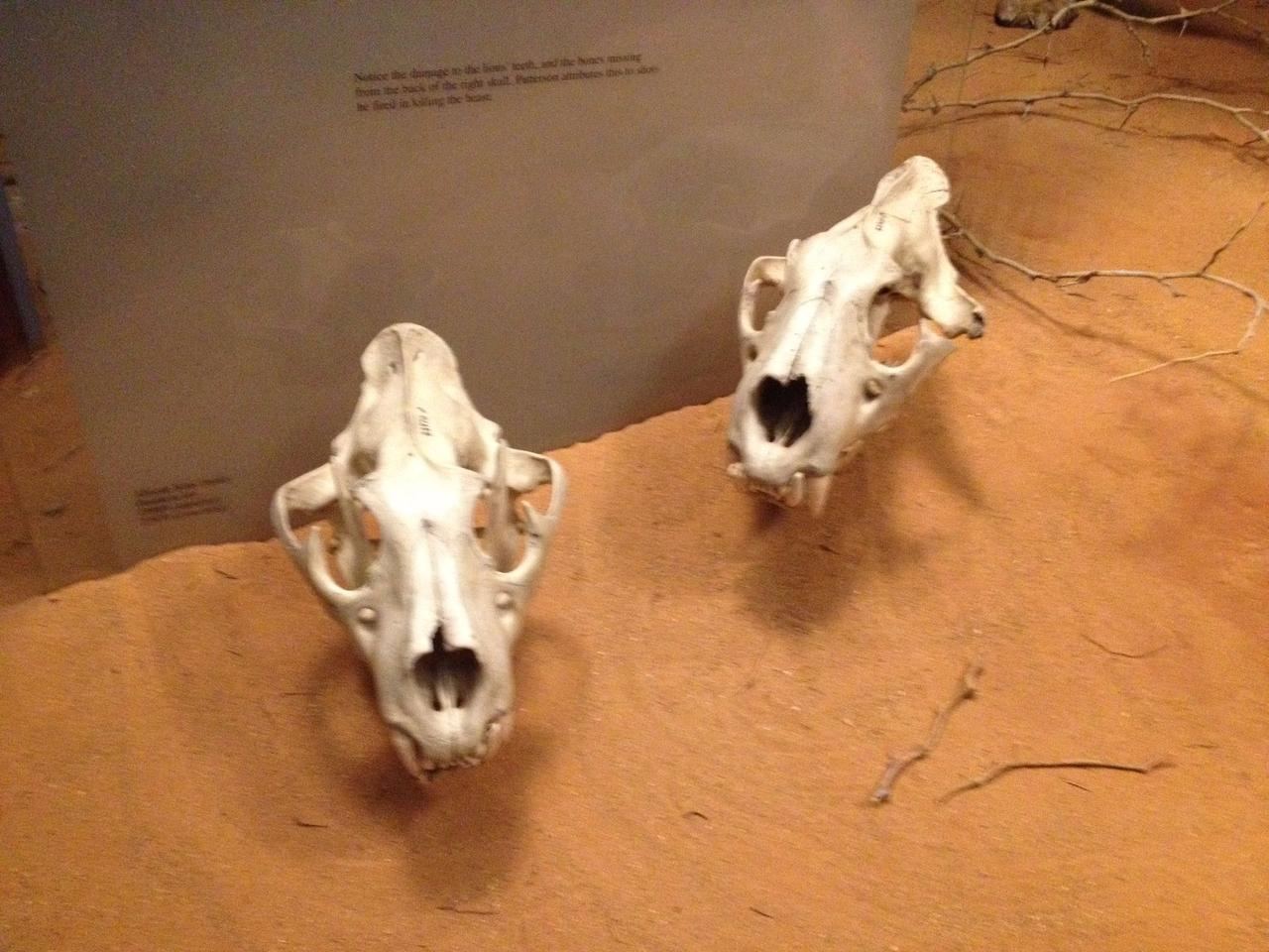The skulls of the Tsavo man eaters on display in Chicago