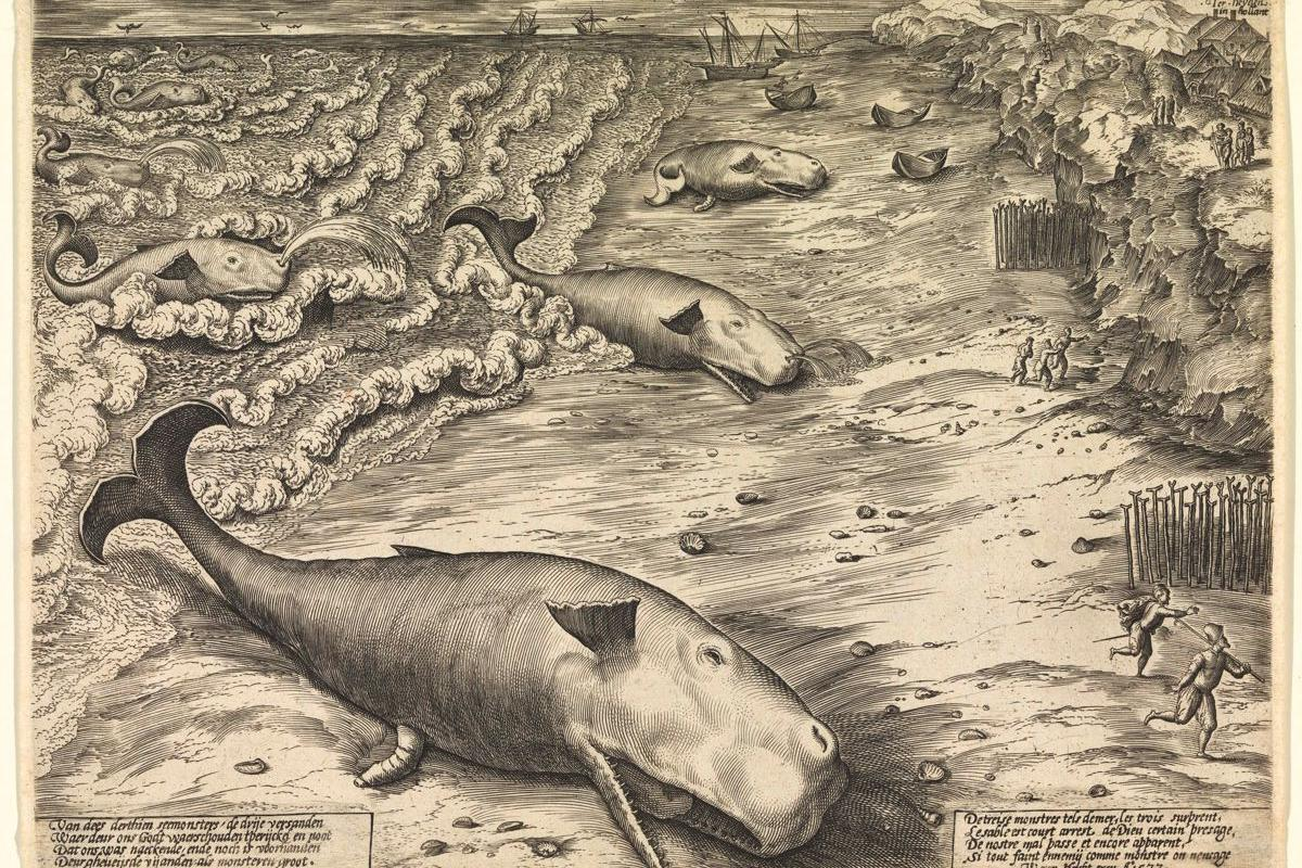 An etching from 1577 shows three beached Sperm Whales, highlighting the long history of whales beaching themselves