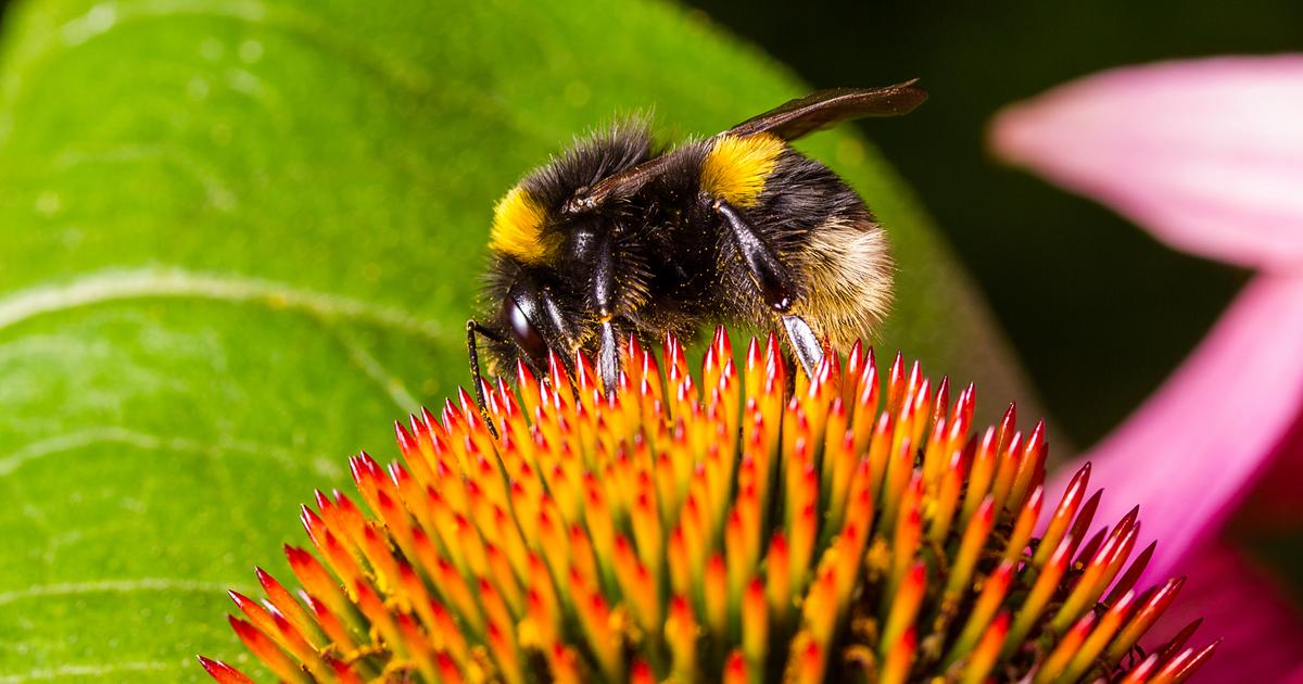 Rising temperatures linked to bumblebee decline suggest mass extinction