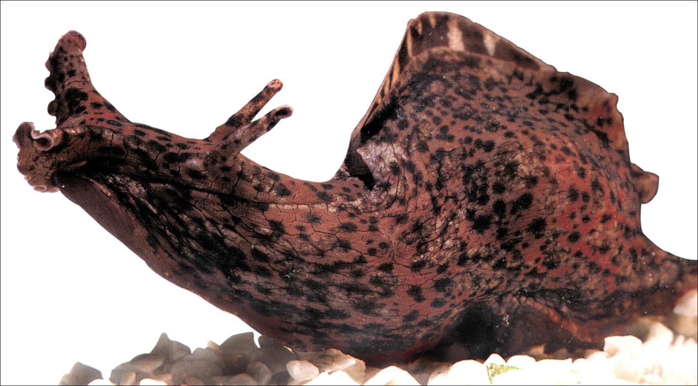 Researchers have transferredgenetic memories from the brains of one marine snail to another