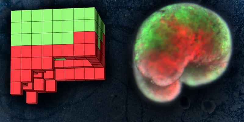 The xenobots are made from frog skin cells (green) and heart cells (red). On the left is the computer blueprint for the design, and on the right is the lifeform itself