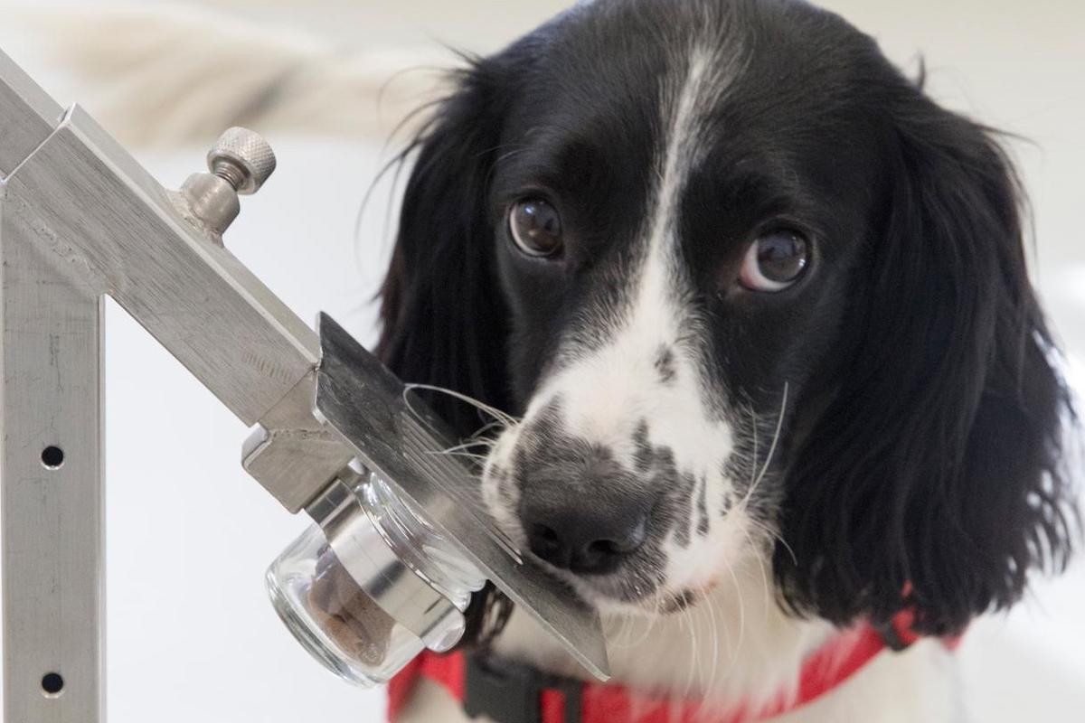 Since the initial study a third dog, a springer spaniel called Freya, has also been trained to detect malaria