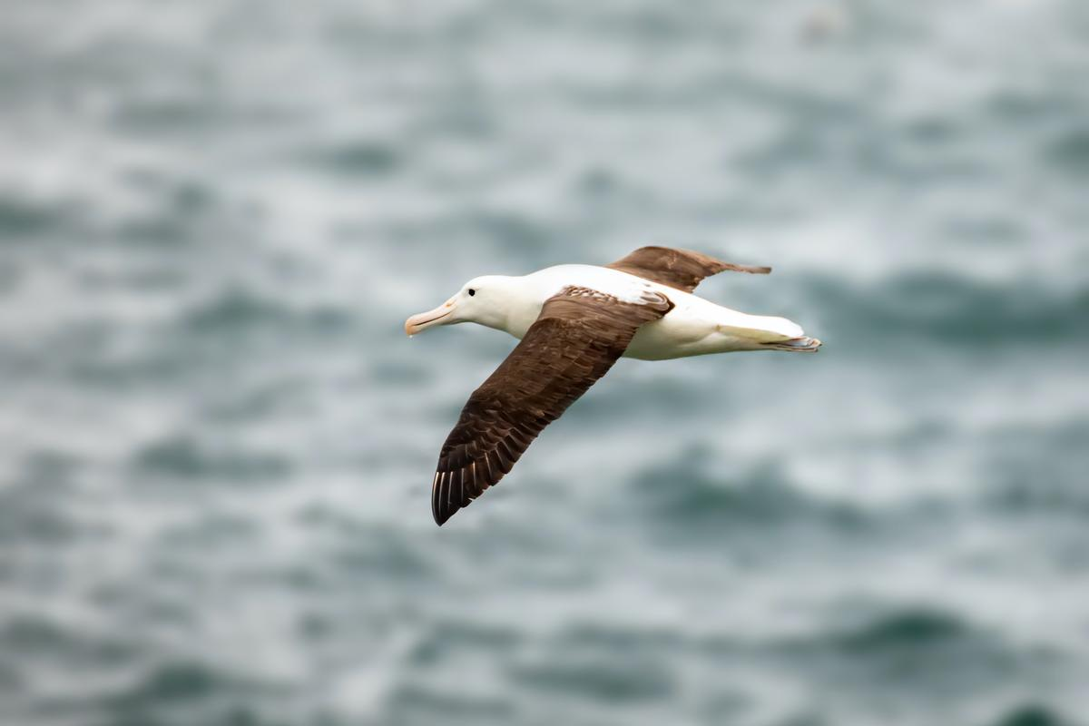 Solar heating of the black wings of birds such as the albatross may improve their lift-to-drag ratio