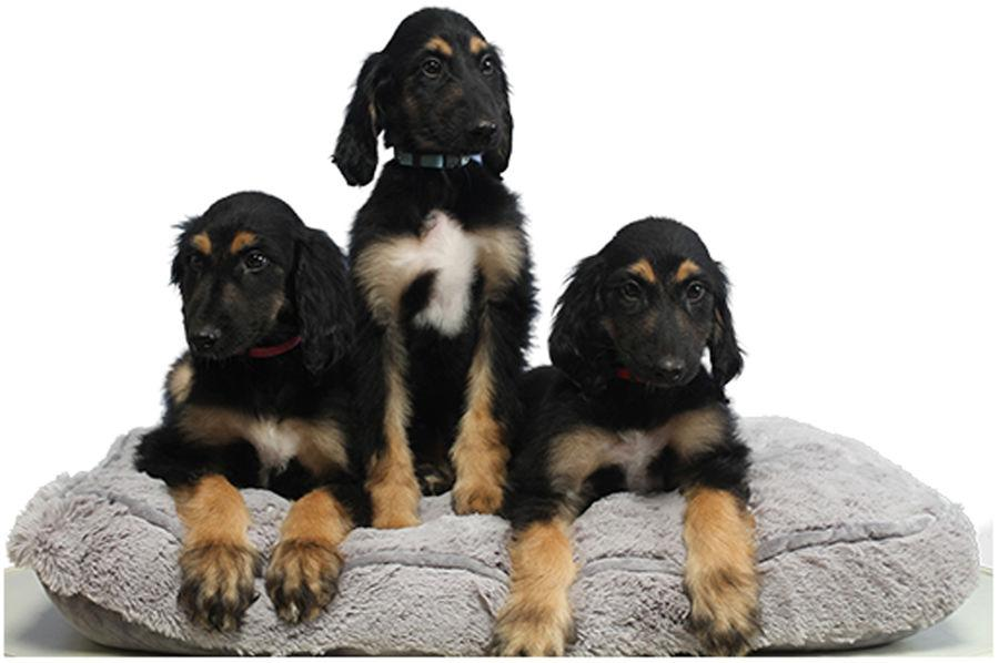 These three healthy puppies are clones of a clone