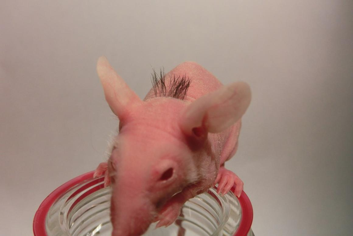 A previously hairless mouse following an implantation of bioengineered hair follicles recreated from adult tissue-derived stem cells