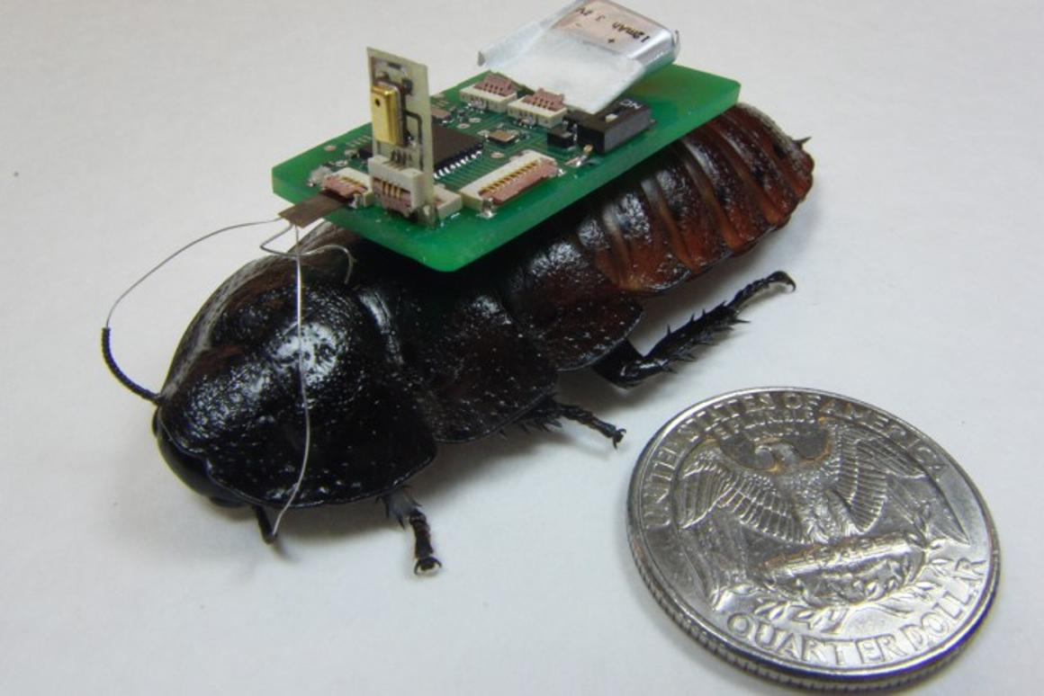 One of the mic-bearing NCSU biobots