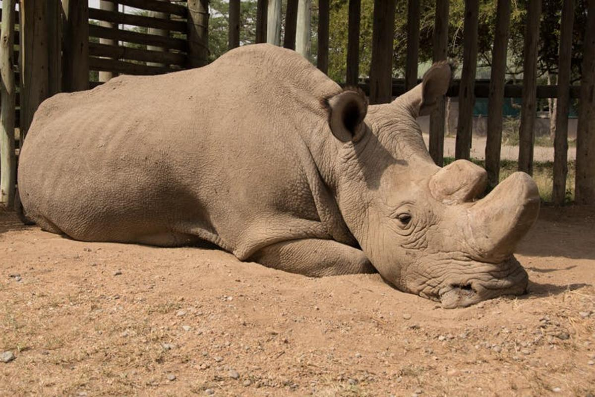 In December last year the last male northern white rhino, developed age-related wounds, infections and degenerative changes to his muscles and bones