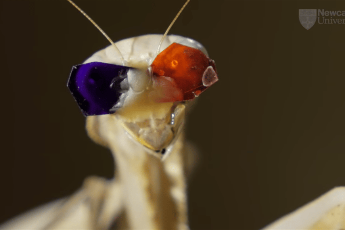 By putting tiny 3D glasses onto praying mantises, researchers have discovered a unique, previously unknown type of 3D vision that's based on movement