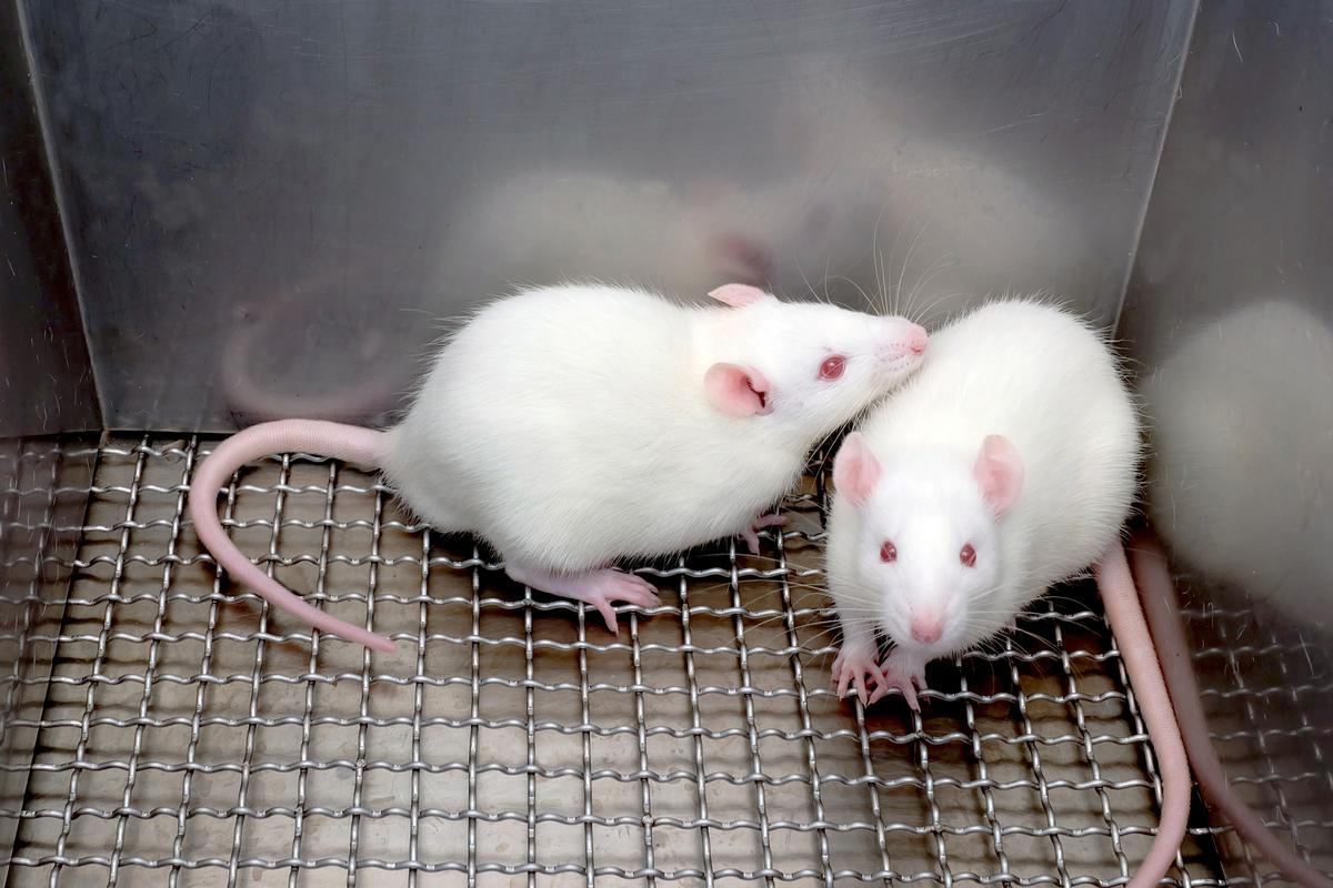 Research say that a new enzyme has been shown to offer prevention or a cure for obese mice with diabetes (Photo: Shutterstock)