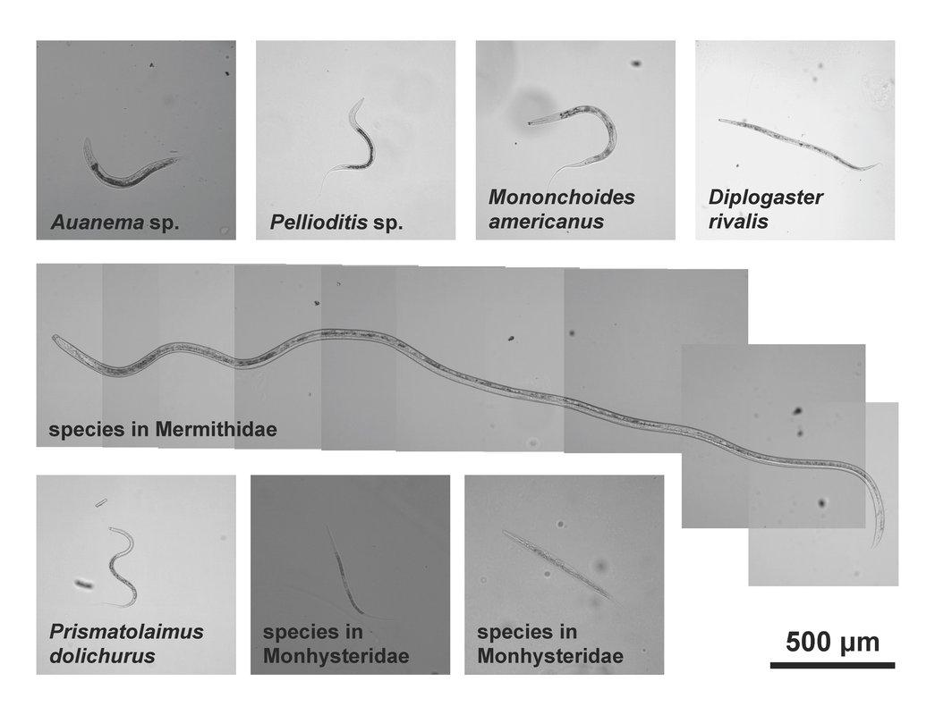 The eight species of worms discovered in Mono Lake, including Auanema sp. which has three sexes