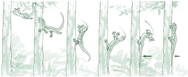 An illustration of the gecko's landing technique