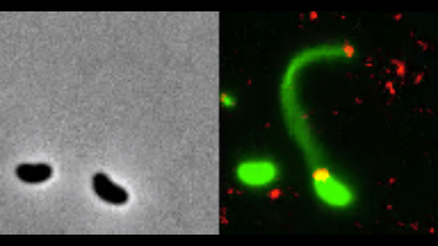 Fluorescent dyes (right) have allowed researchers to directly observe how bacteria (green) send out harpoon-like appendages called pili to latch onto DNA fragments (red), compared to no dyes (left)