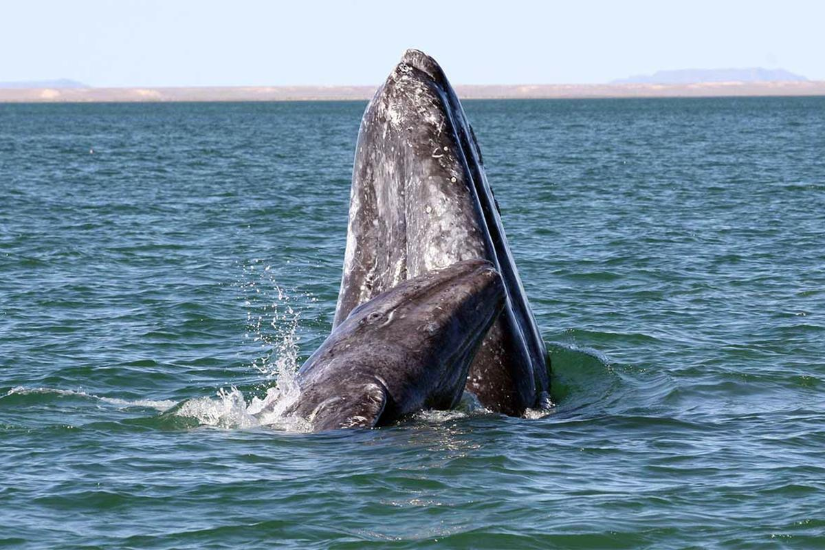 The detectors will help track the annual gray whale migration (Photo: NOAA)