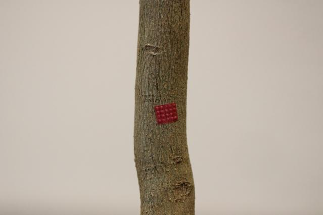 One of the microneedle patches, applied to a citrus tree