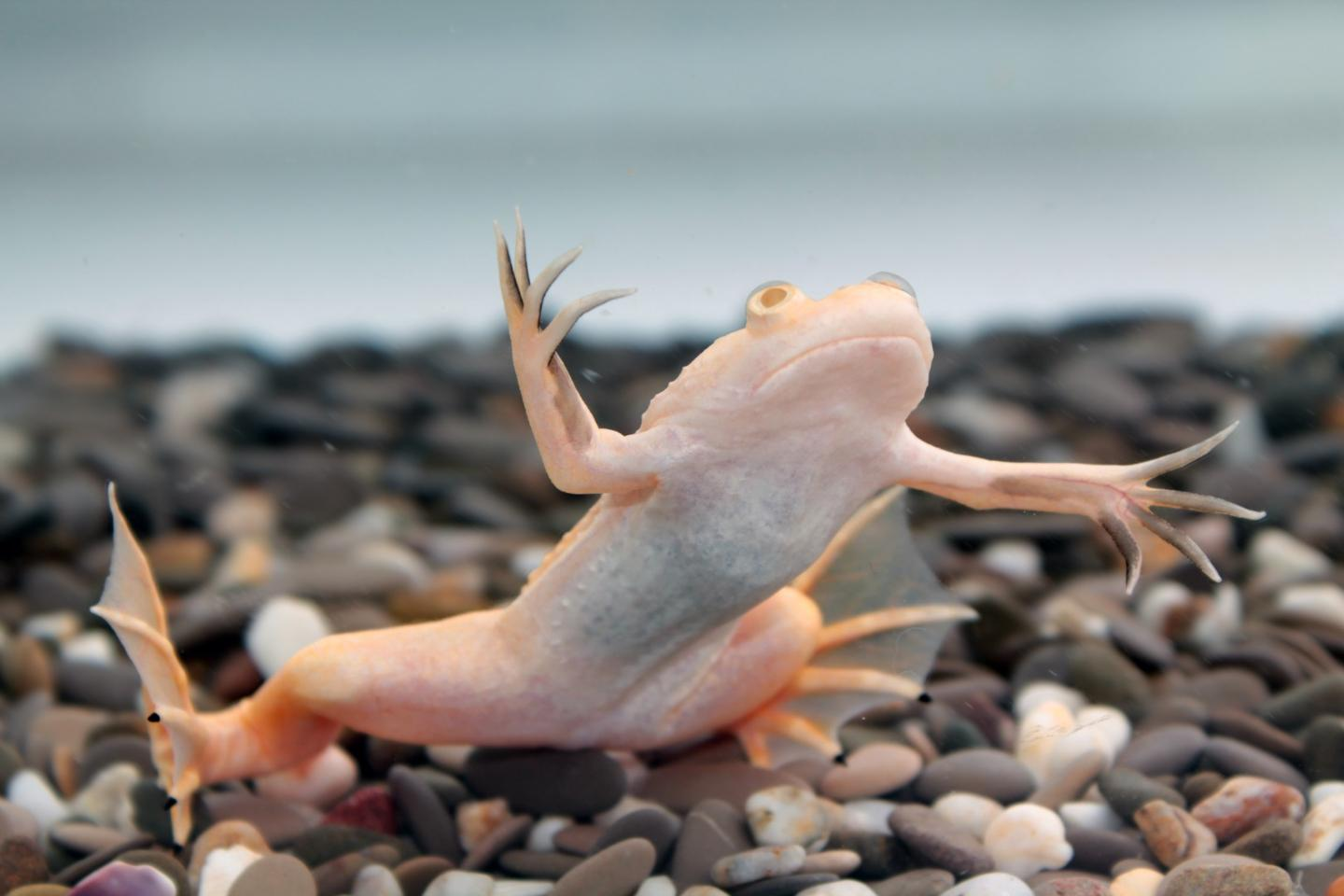 Adult African claw frogs are incapable of regrowing lost limbs – or are they?