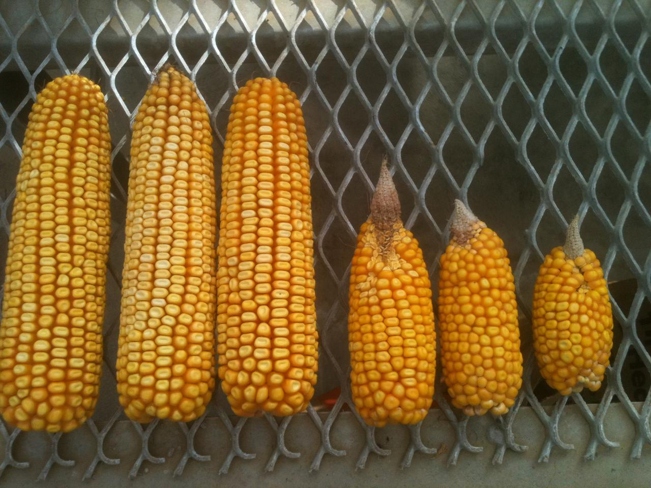 MSU's water-saving membranes dramatically improved corn yields during this summer's drought (Photo: MSU)