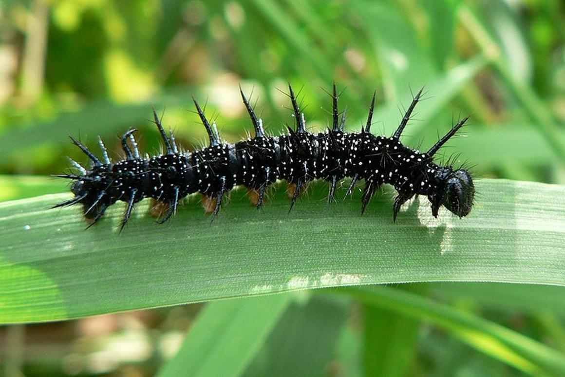 """Caterpillars' """"gut-sliding"""" method of locomotion could be applied to soft-bodied robots (Photo: Patrick Clenet)"""
