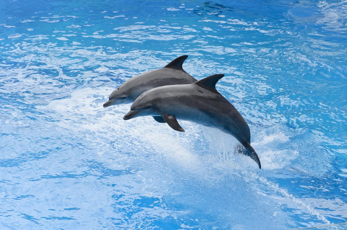 Dolphins' ability to tell the difference between fish and bubbles has inspired the creation of a new type of radar system (Photo: Shutterstock)