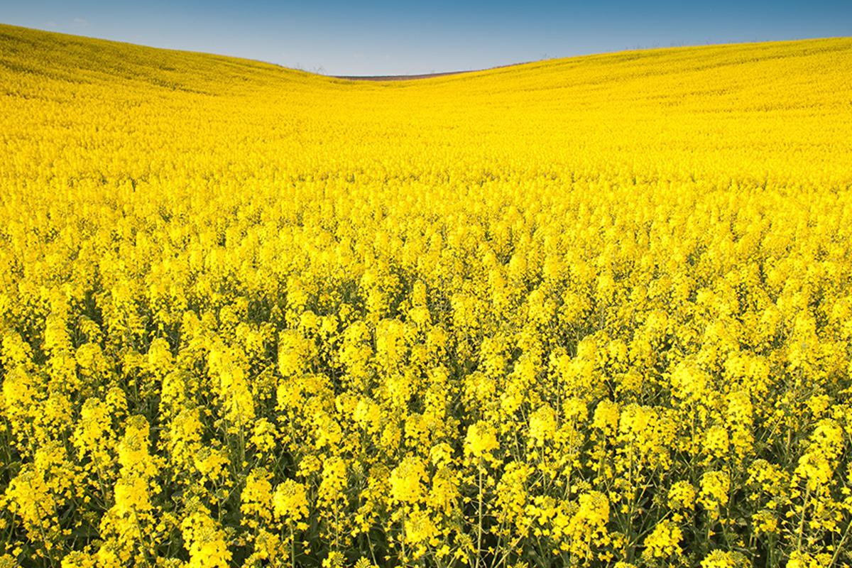 The rapeseed plant is one of the most widely cultivated crops in the world and researchers have now found a way to stop toxins entering edible parts of the plant (Photo: Shutterstock)