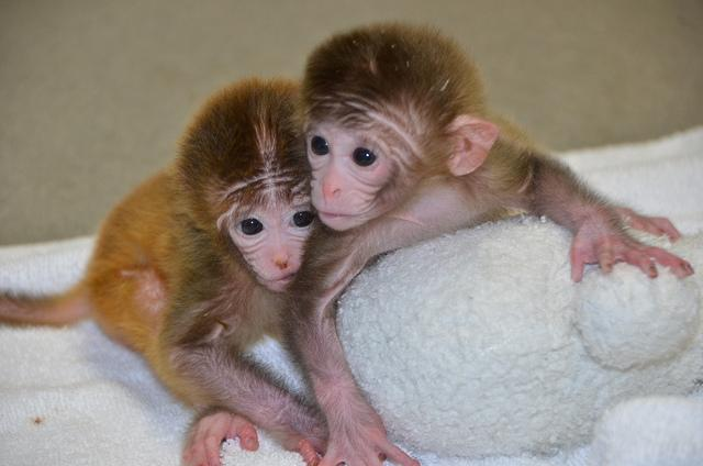 Chimeric monkeys Roku, Hex and Chimero (not pictured) are the first three primates ever to be born after developing from embryonic stem cells in a lab (Photo: ONPRC)