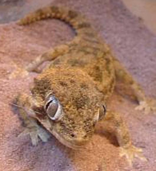 Researchers calculated the nocturnal helmet gecko's cone vision was more than 350 times more sensitive than a human's, which may create better cameras and contact lenses