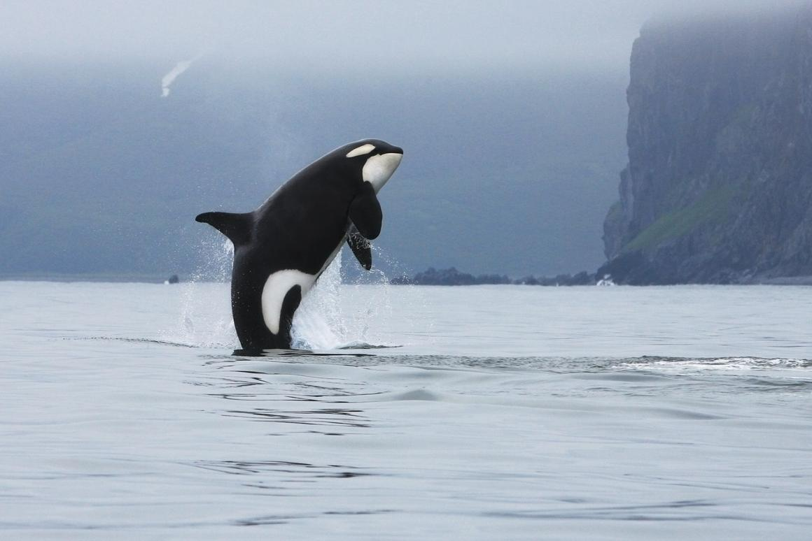 Canadian researchers are taking advantage of aerial drones to track the well being of Killer whales (Photo: Shutterstock)