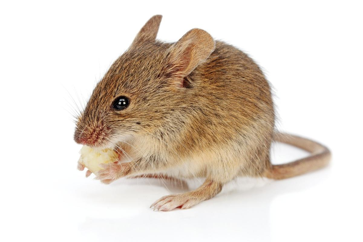 The scientists demonstrated that they could stimulate higher amount of immune cells in mice simply by altering the hardness of their food