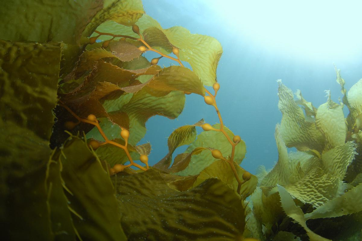 BAL researchers say a new engineered microbe makes seaweed a cost-effective source of biofuel and renewable chemicals (Photo: Shutterstock)