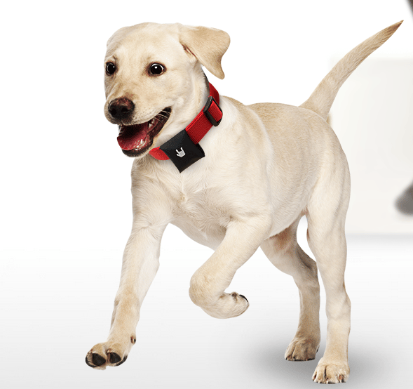 A dog wearing the Puppy tracking system