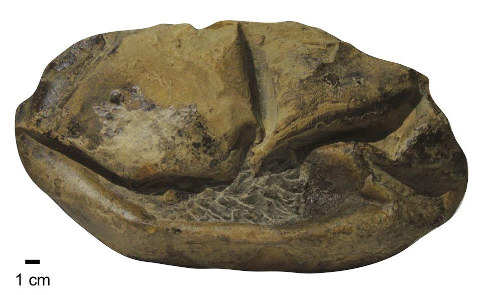 The fossil egg, which looks like a deflated football