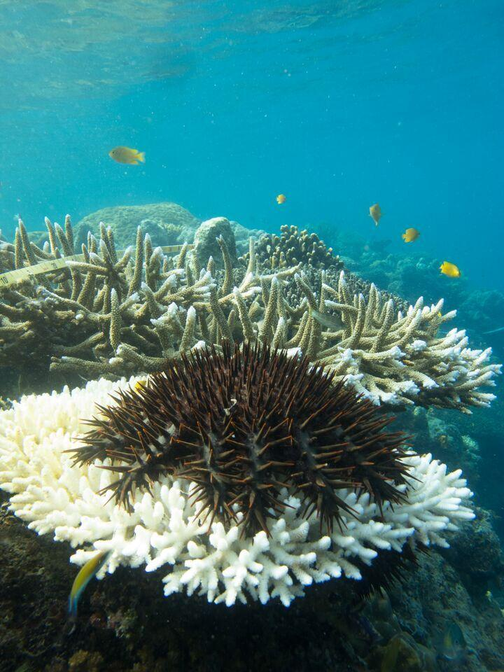 The crown-of-thorns starfish poses a very big threat the wellbeing of Australia's Great Barrier Reef