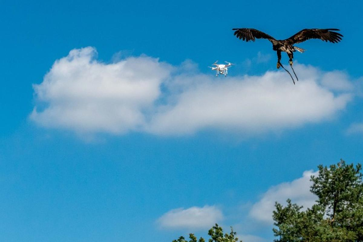 Drone-hunting eagle in action