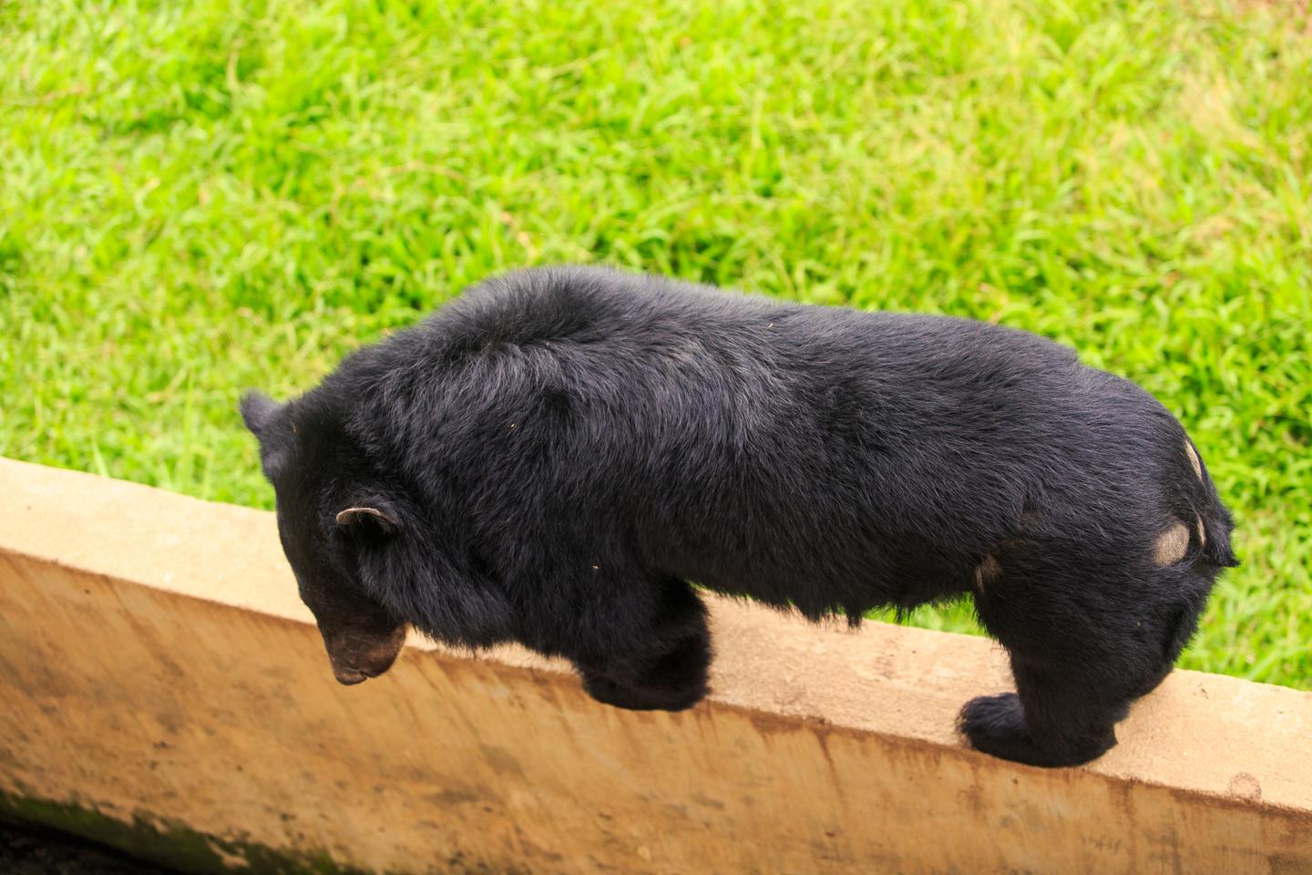 Trump's wall between Texas and Mexico poses a threat to plants and animals, including the black bear
