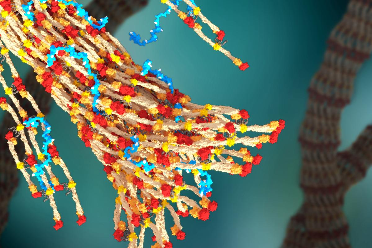 A 3D rendering of a blood clot forming, with PolySTAT (in blue) binding strands of fibrin together (Image: William Walker/University of Washington)