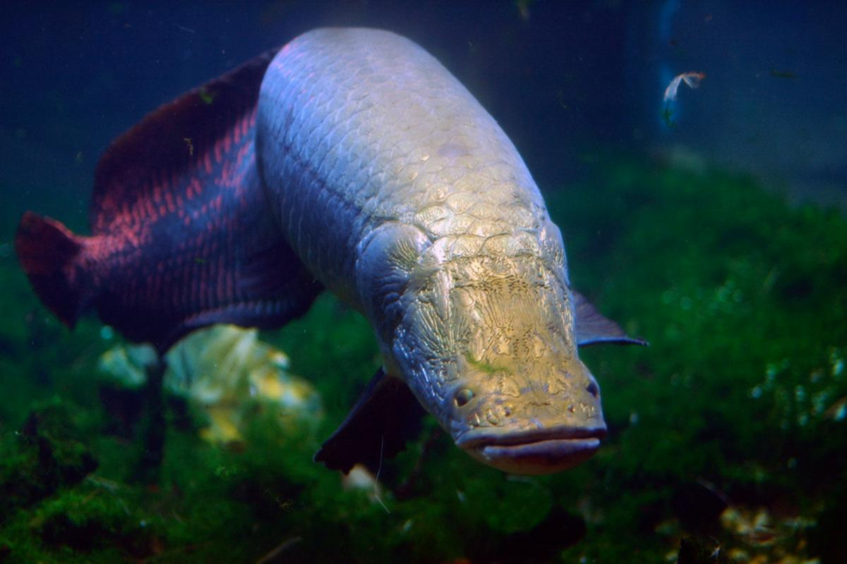The piranha-bite-proof scales of the Arapaima fish could serve as the inspiration for body armor that is tough yet flexible (Photo: Jeff Kubina)