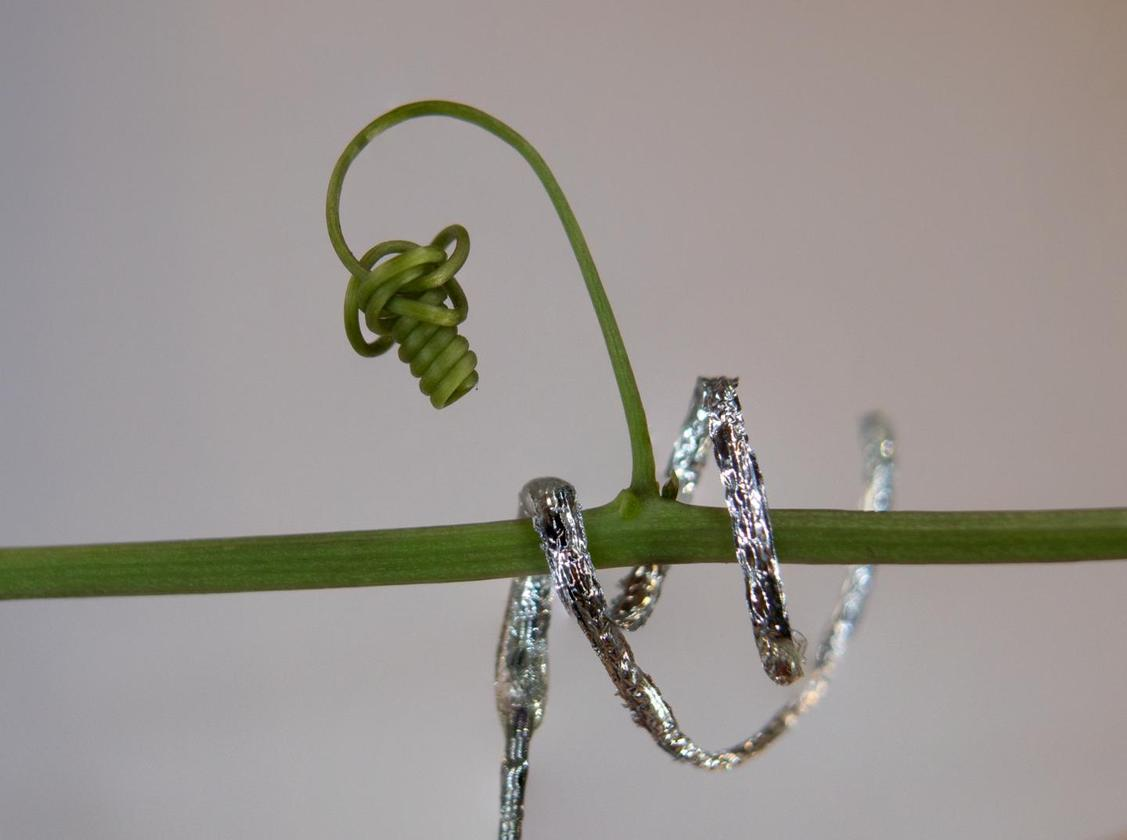 Italian researchers have developed a softrobot that climbs and curls like a plant tendril