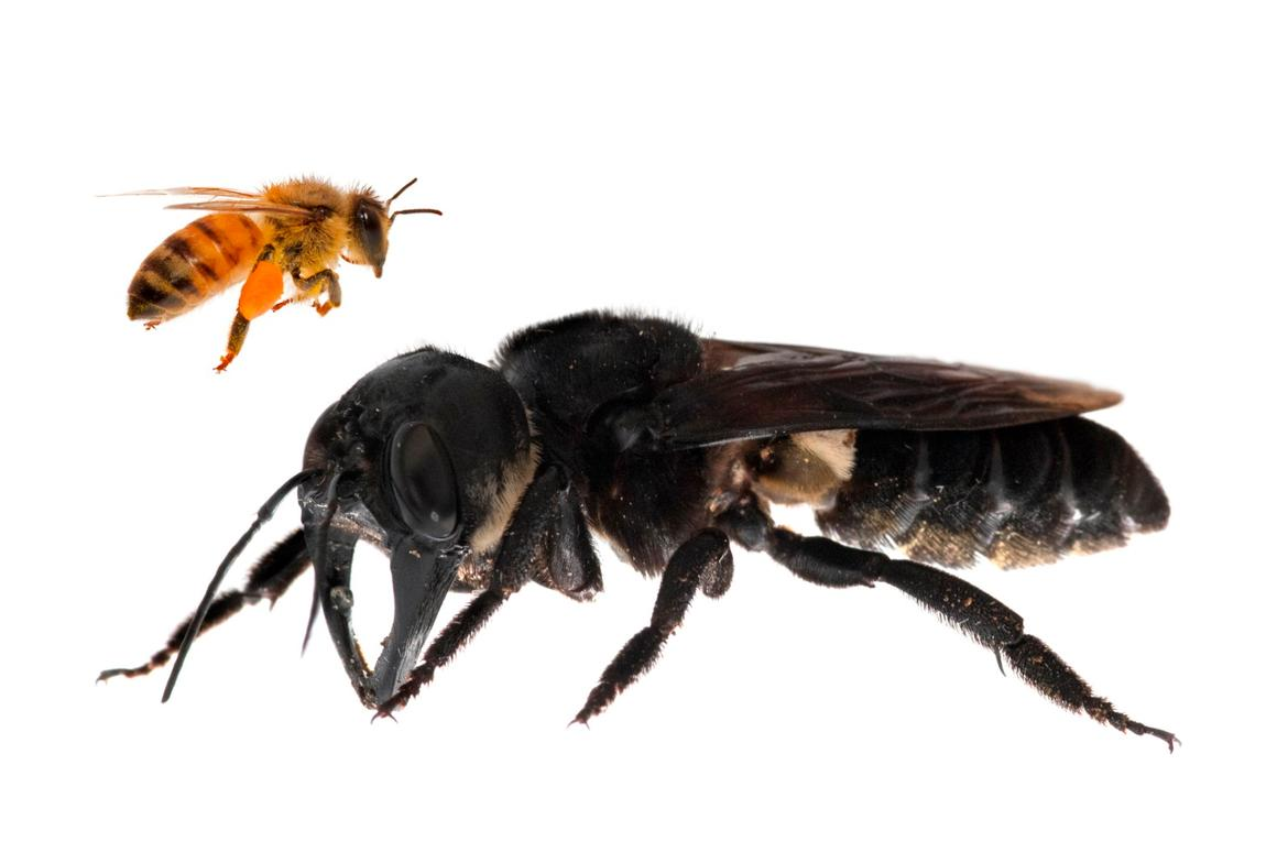 Wallace's giant bee, the largest known bee species in the world, is four times larger than a European honeybee
