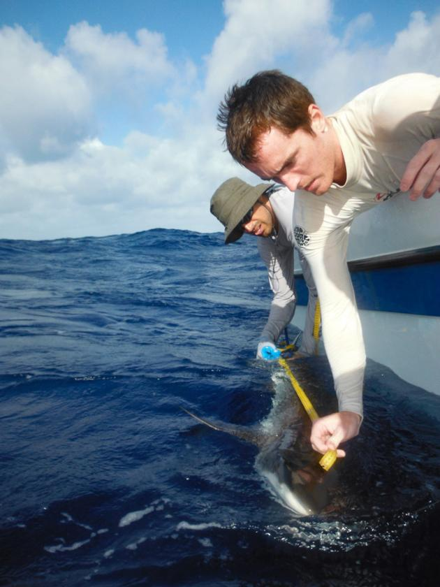 Researchers Kosta Stamoulis of Palmyra Atoll Research Consortium and University of Hawaii and Tim White of Stanford's Hopkins Marine Station measuring a grey reef shark
