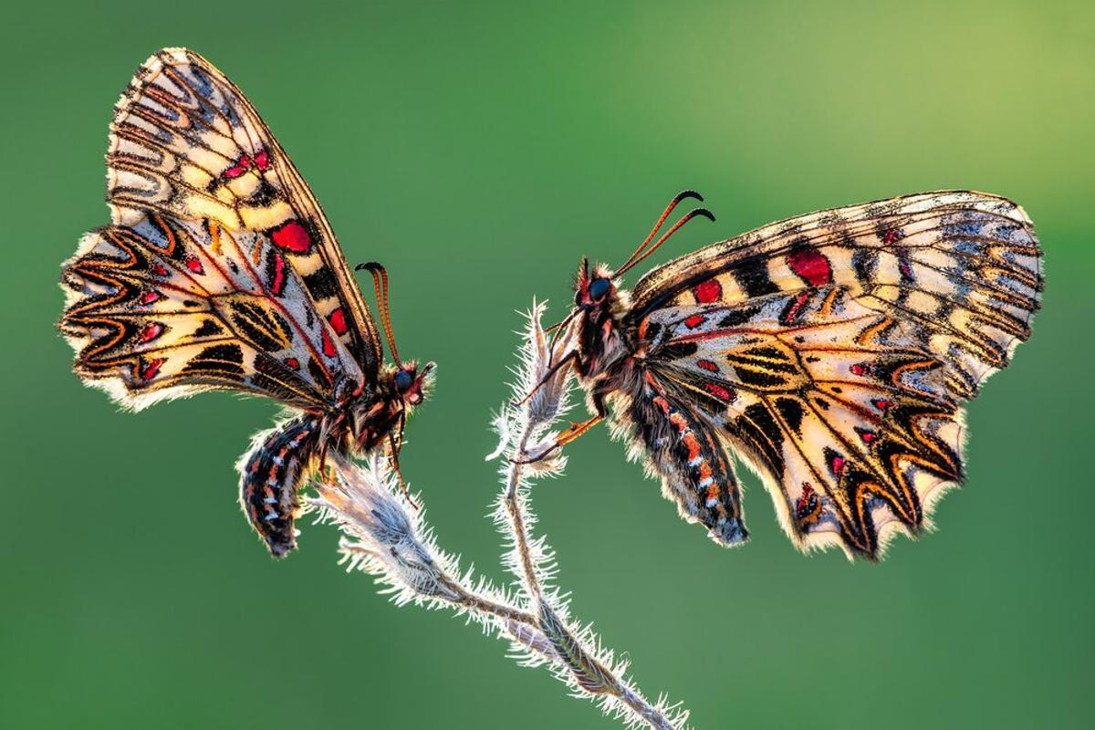 Balance by Petar Sabol was a finalist in the Insects category of the 2020 Close-up Photographer of the Year. These two Eastern festoon butterflies were found on an early morning walk.