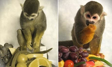 Dalton the squirrel monkey treated for color blindness with the image on the left representing vision before treatment (Photo: Neitz Laboratory)