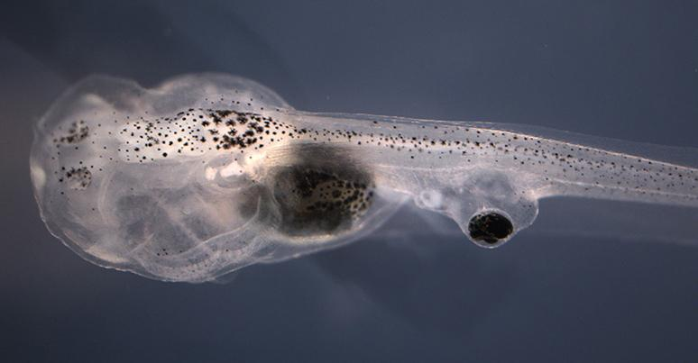 A blind tadpole with an eyeball grafted onto its tail